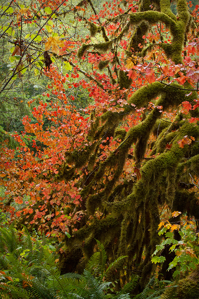 Vine Maple and Moss