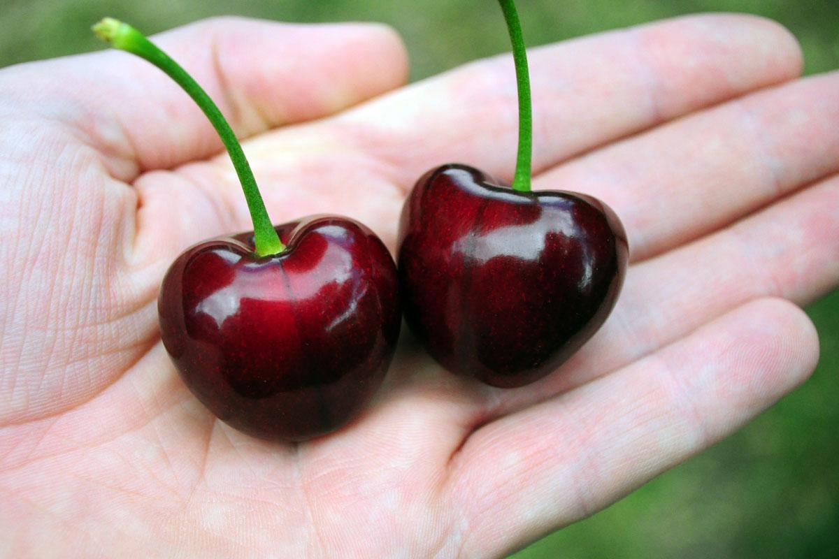 Varieties Fleurieu Cherries