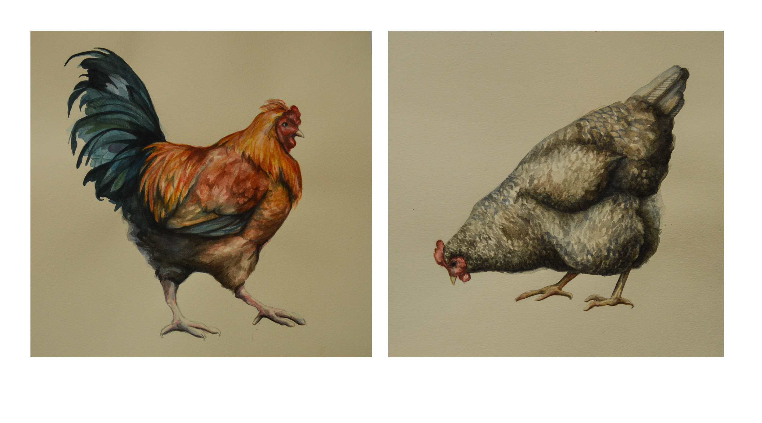ChickensLayout.jpg