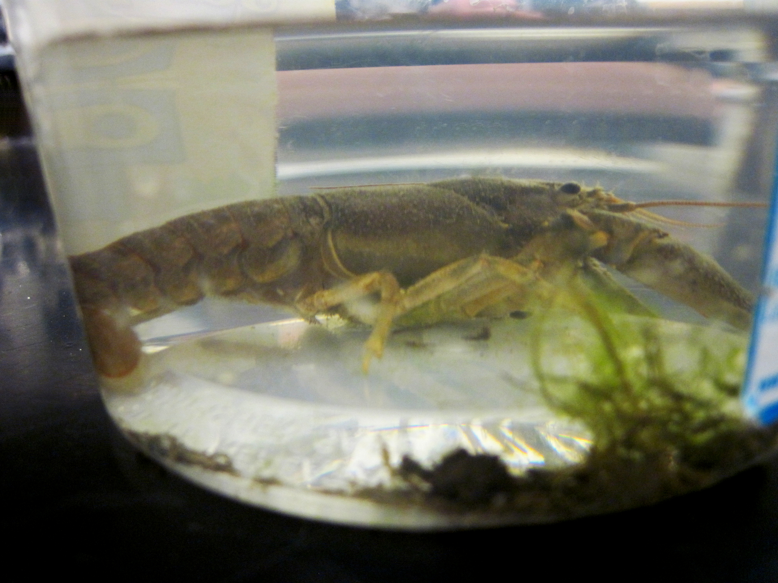 Crayfish to be examined for worms - Maine