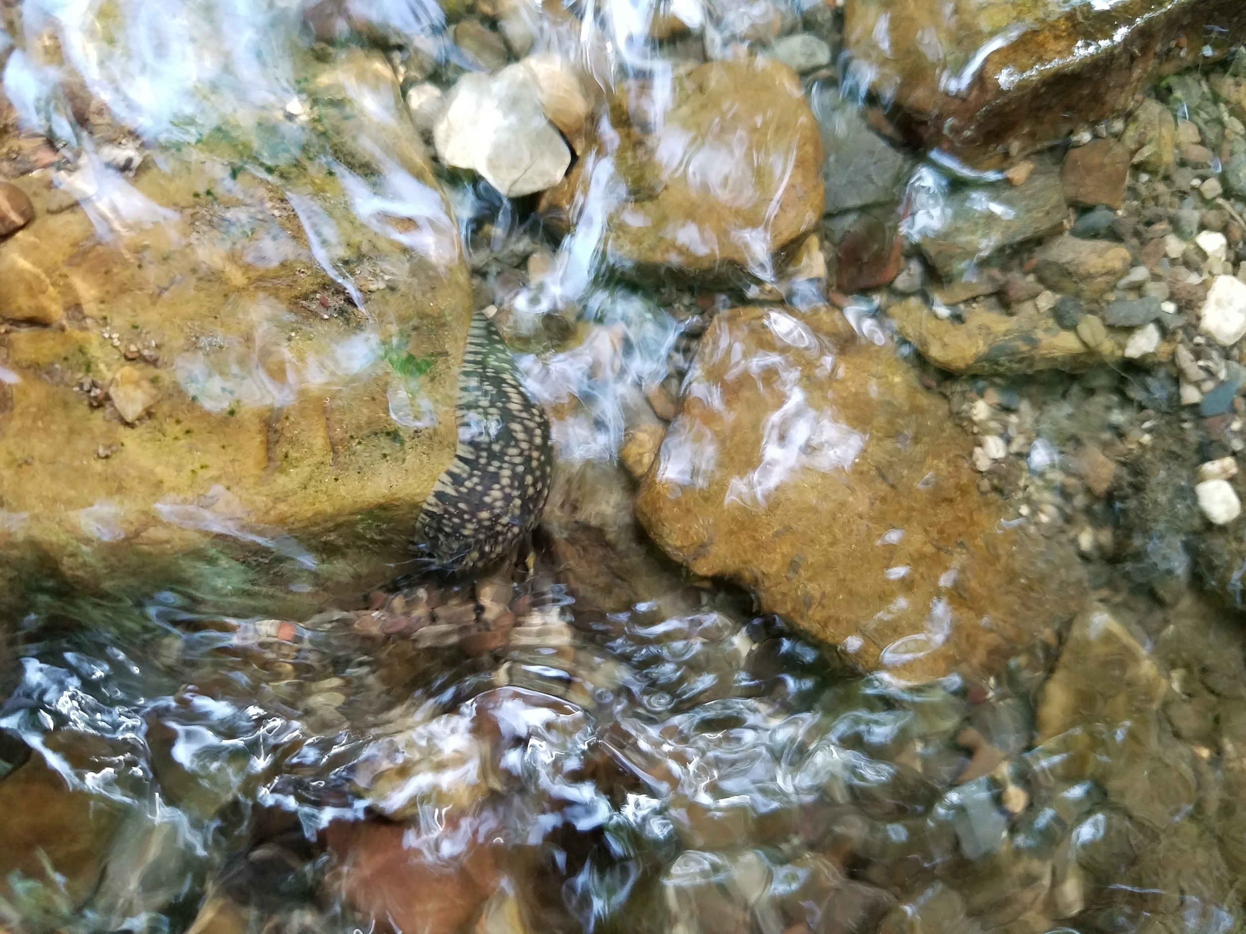 Placobdella leech in a stream - Arkansas