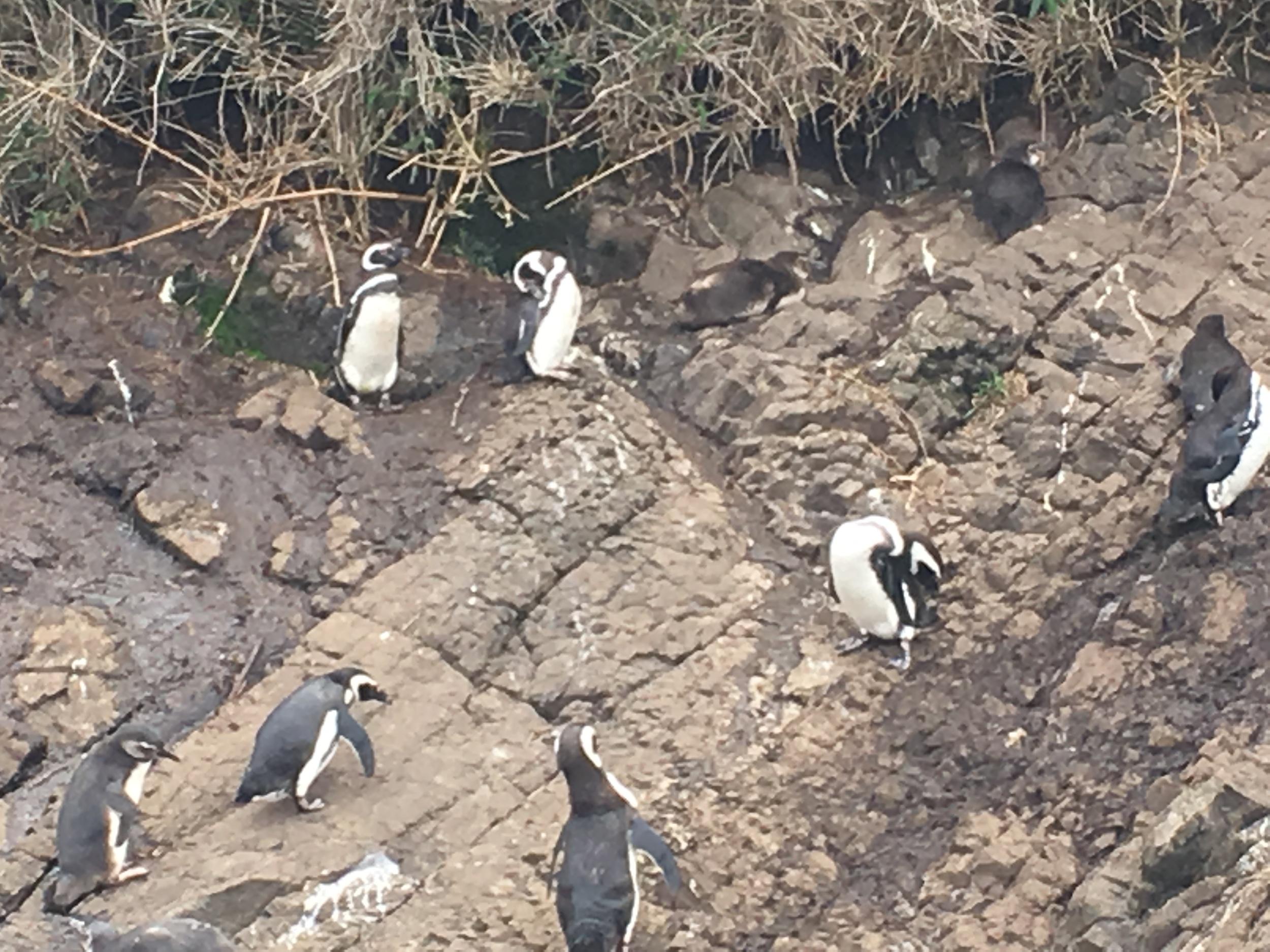 Penguins on little island off coast of big island Chiloe