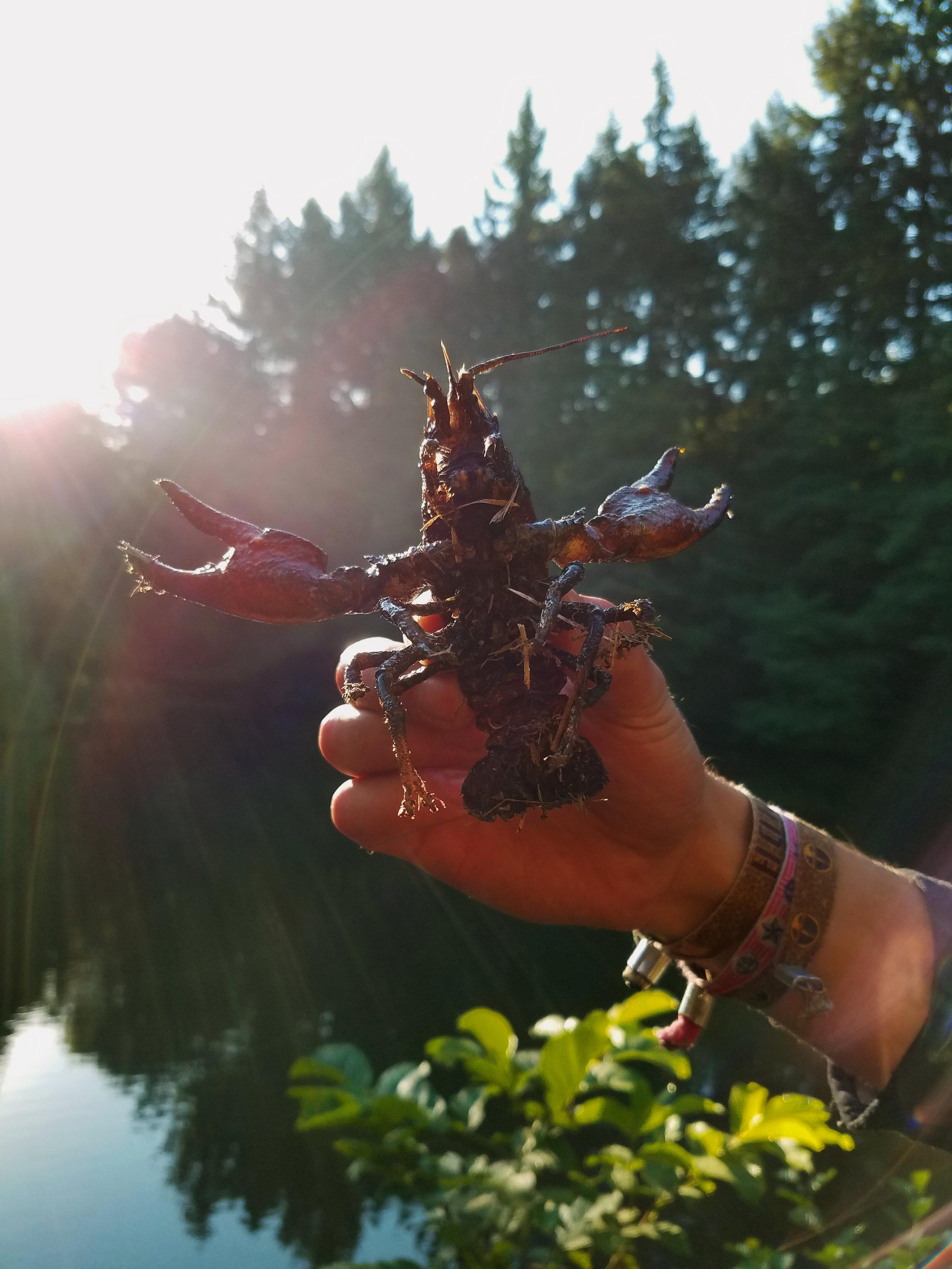 crayfish in sun.jpg