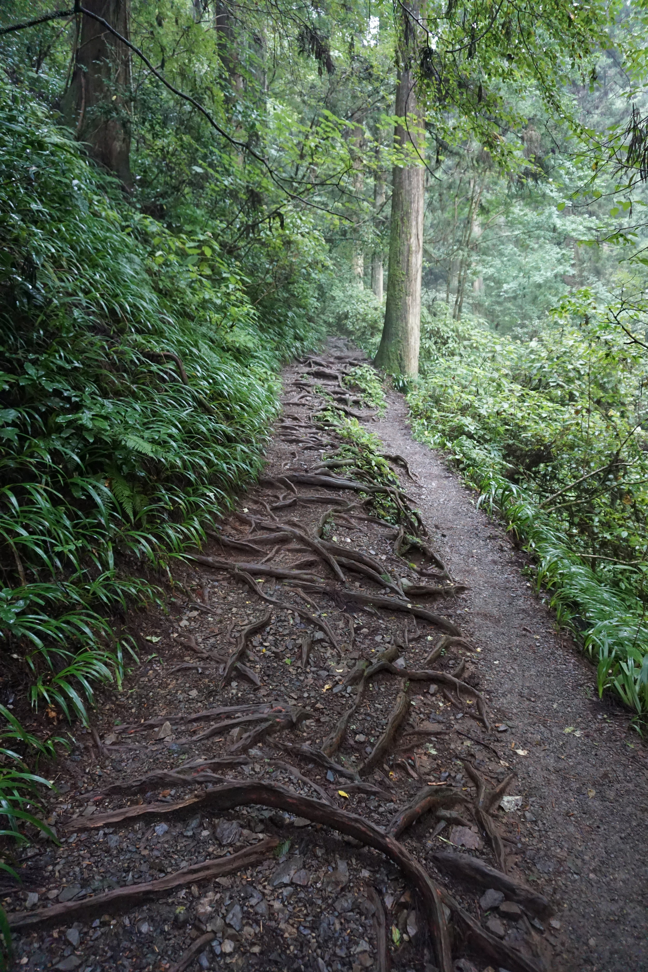Exposed roots along trail 6 on the way to summit Takao San.