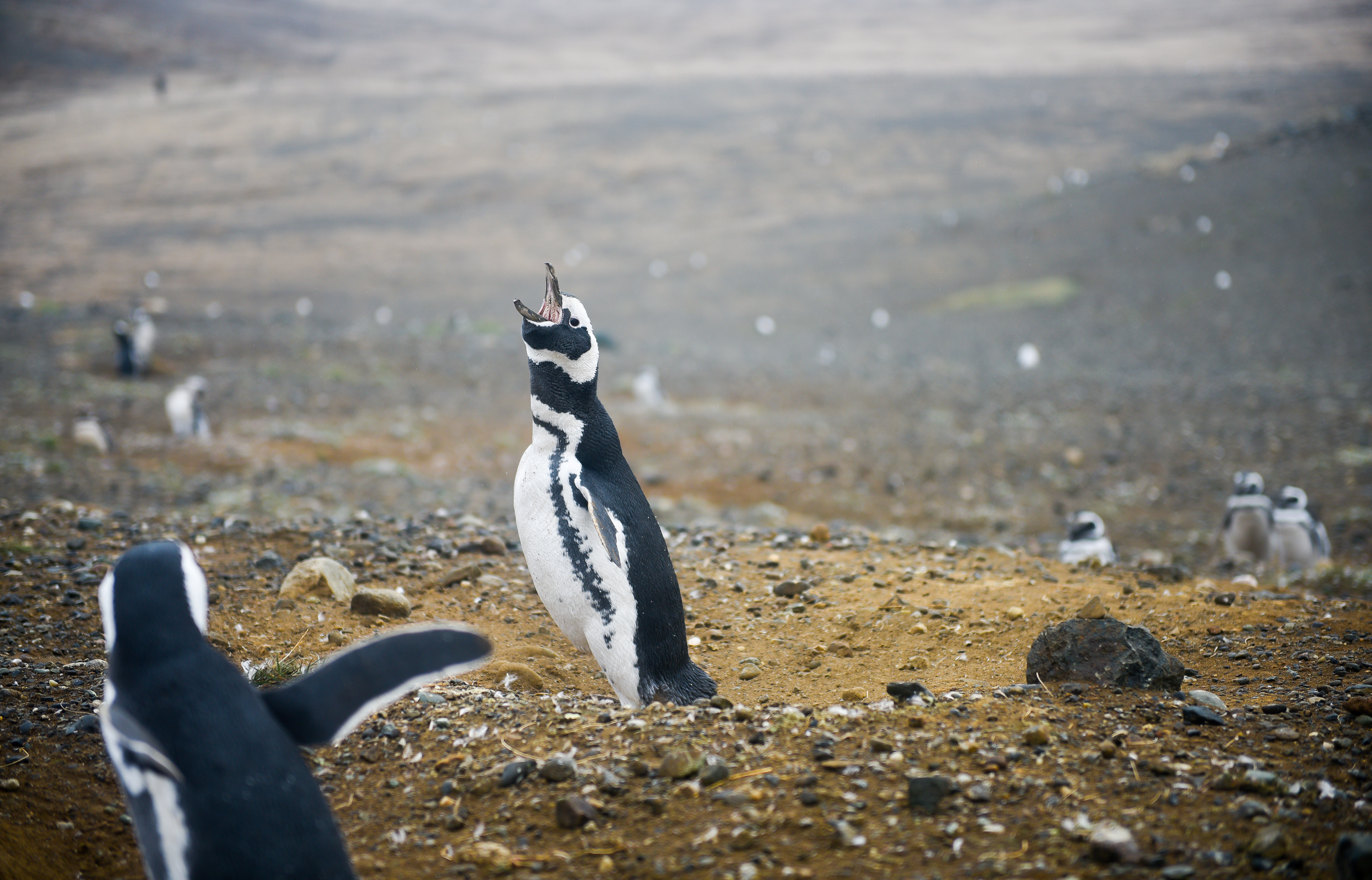 The Magellanic penguin produces a loud, mournful call, similar to that of a donkey bray. This is used most commonly by the males when seeking a mate, but also during other activities such as territorial disputes.