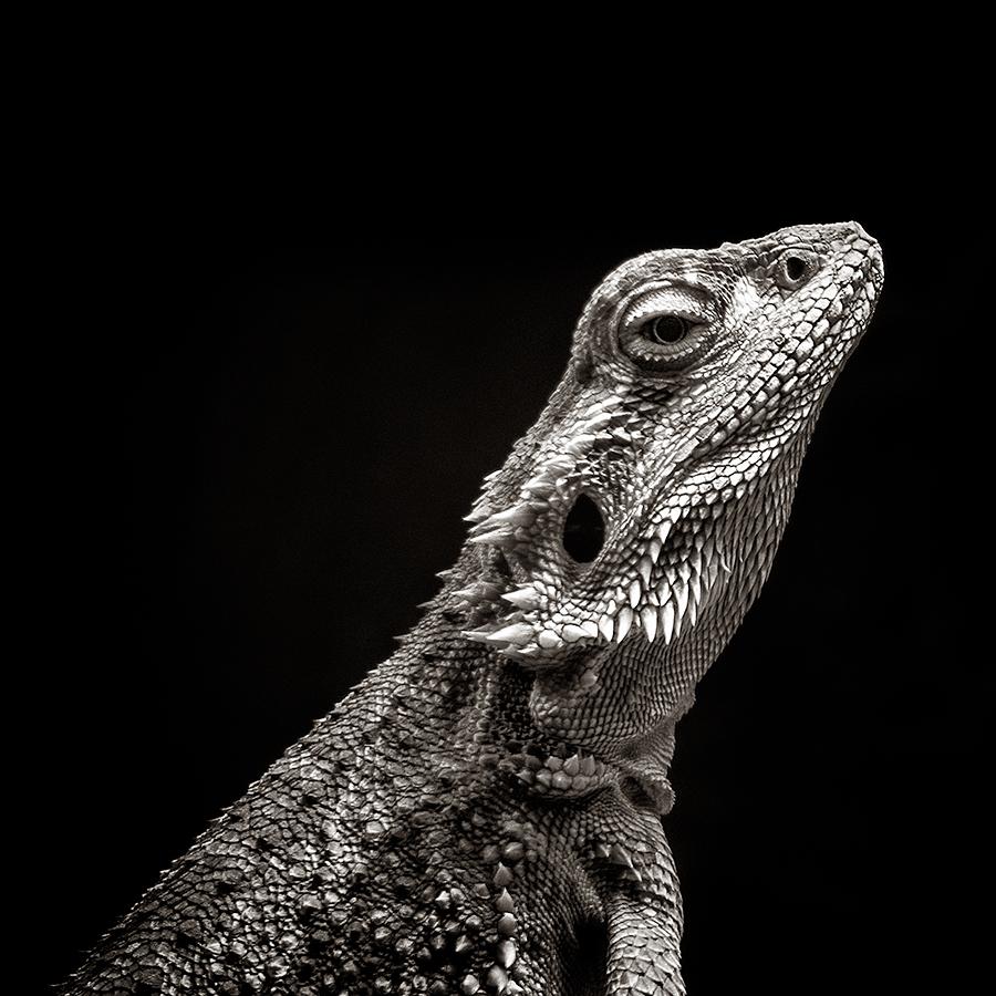 Bearded Dragon Beauty