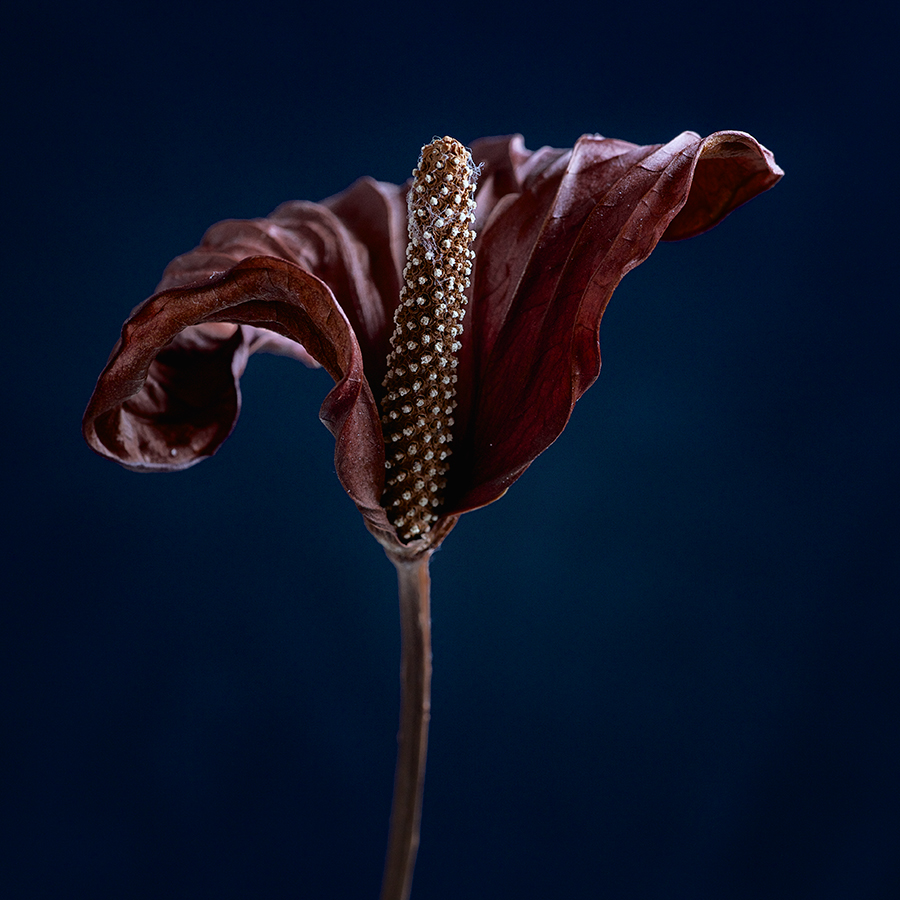 Dying Beauty