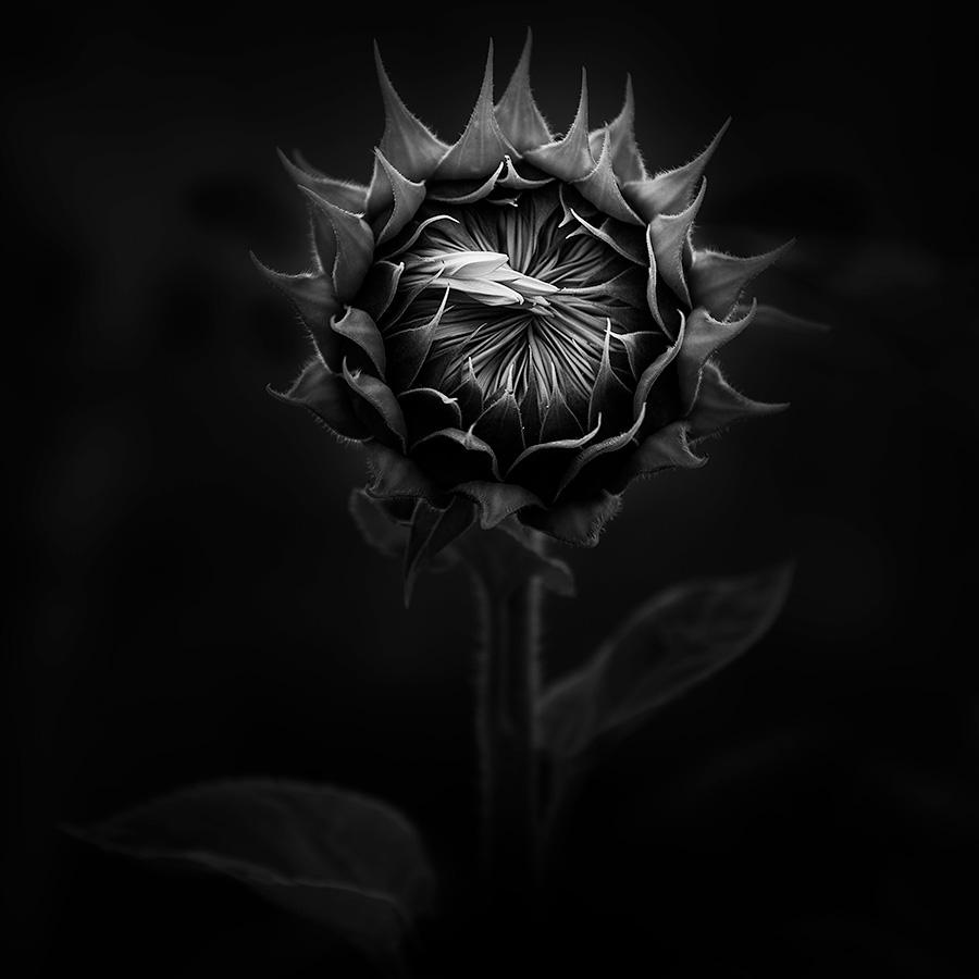 A Sunflower is Born