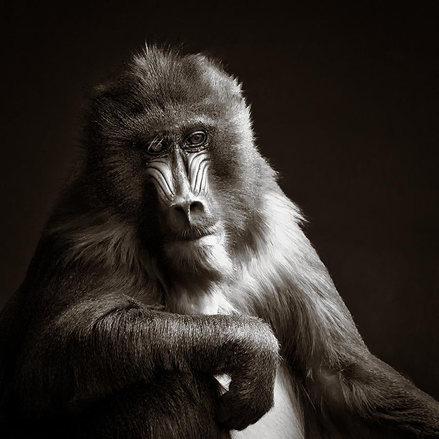 Portrait of a Mandrill