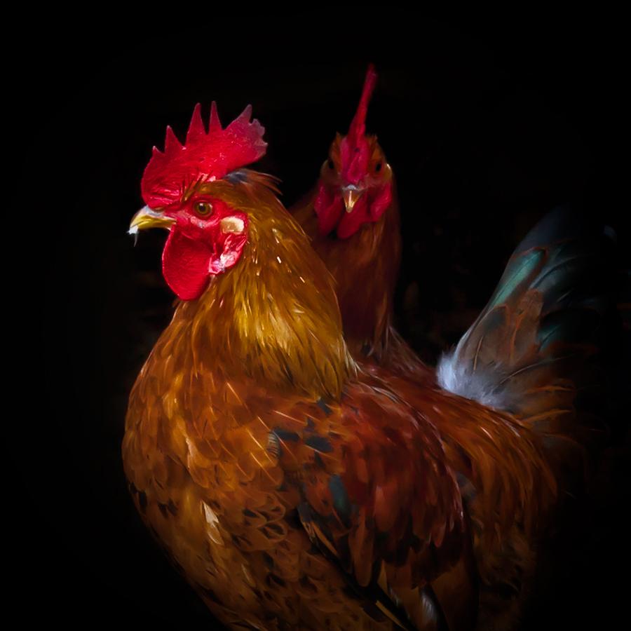 Chicken Portraits