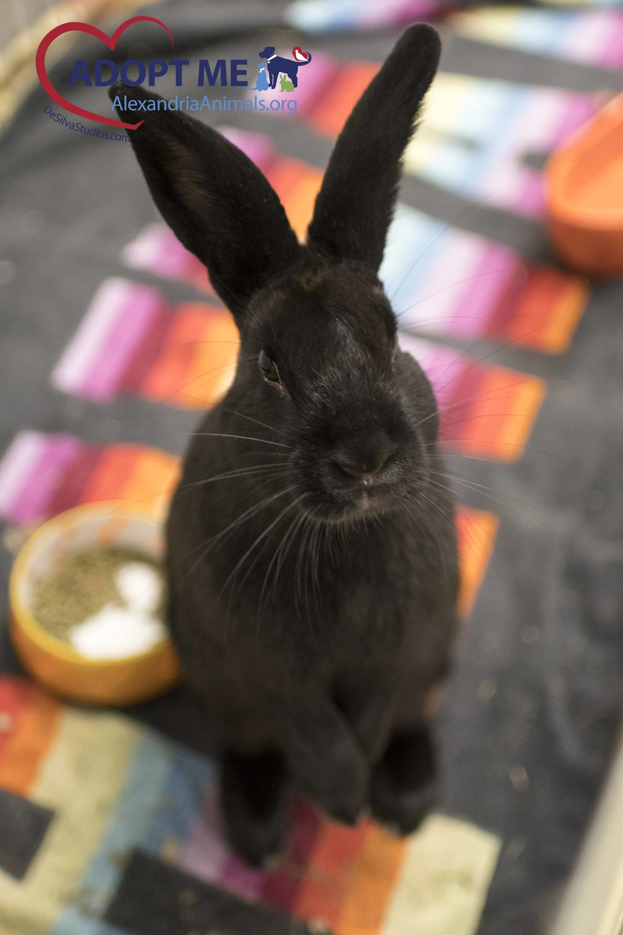 Almond_Rabbit_AWLA_6_27_2-17_01w.jpg