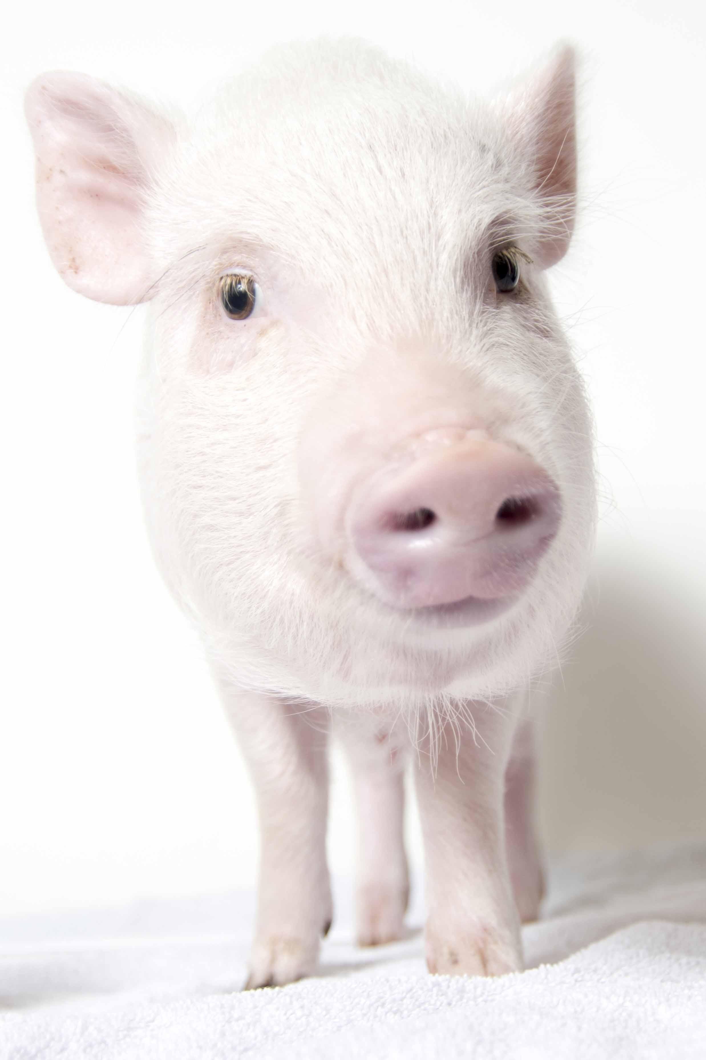 Rosie_Pig_AWLA_8_7_2017_07.jpg
