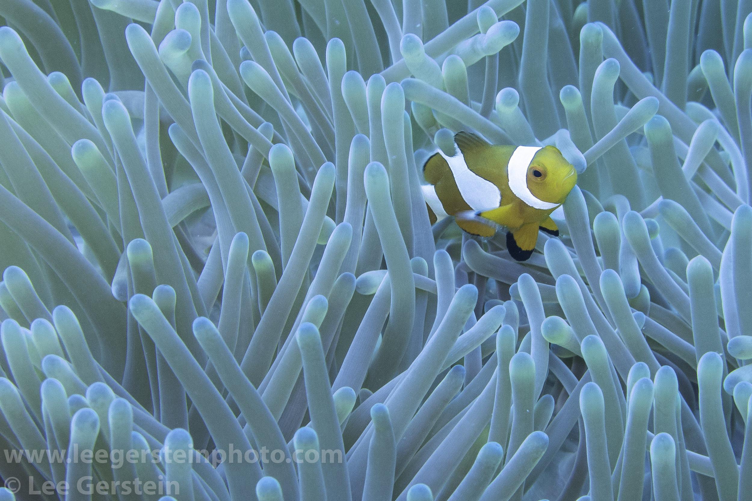 False Clown Anemone Fish