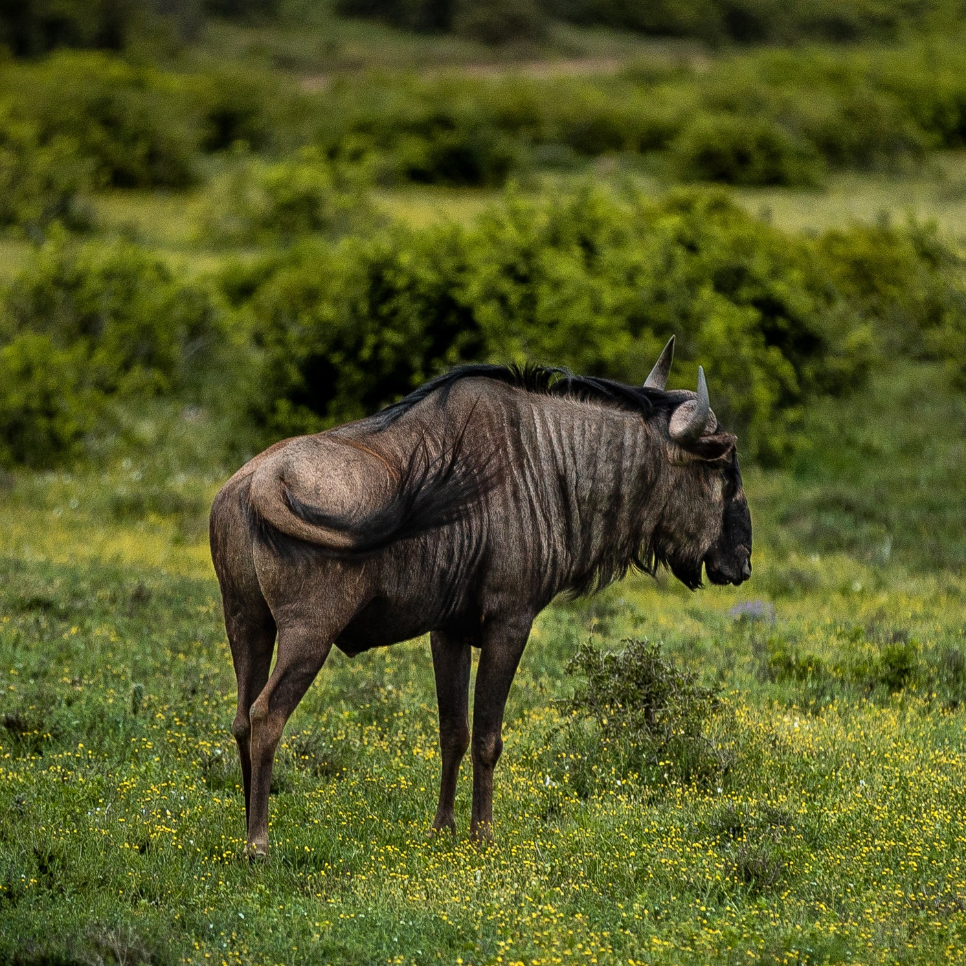 Wildebeest - Schotia Safaris Private Game Reserve, South Africa