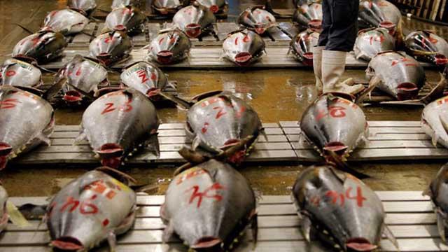 ....Bluefin tuna: one of the species found to contain trace amounts of radioactive..Cá ngừ vây xanh: một trong những loài được tìm thấy có chứa dấu vết chất phóng xạ..藍鰭金槍魚是已發現含有微量放射性物質的物種之一....