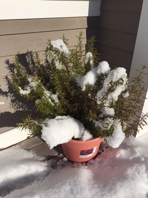 The rosemary plant says HELP!