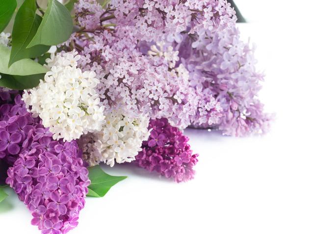 lilac2.jpeg