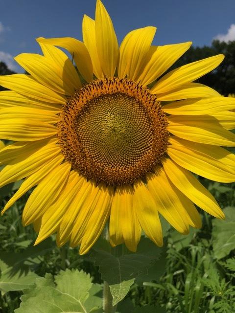sunflower OPENER.jpeg