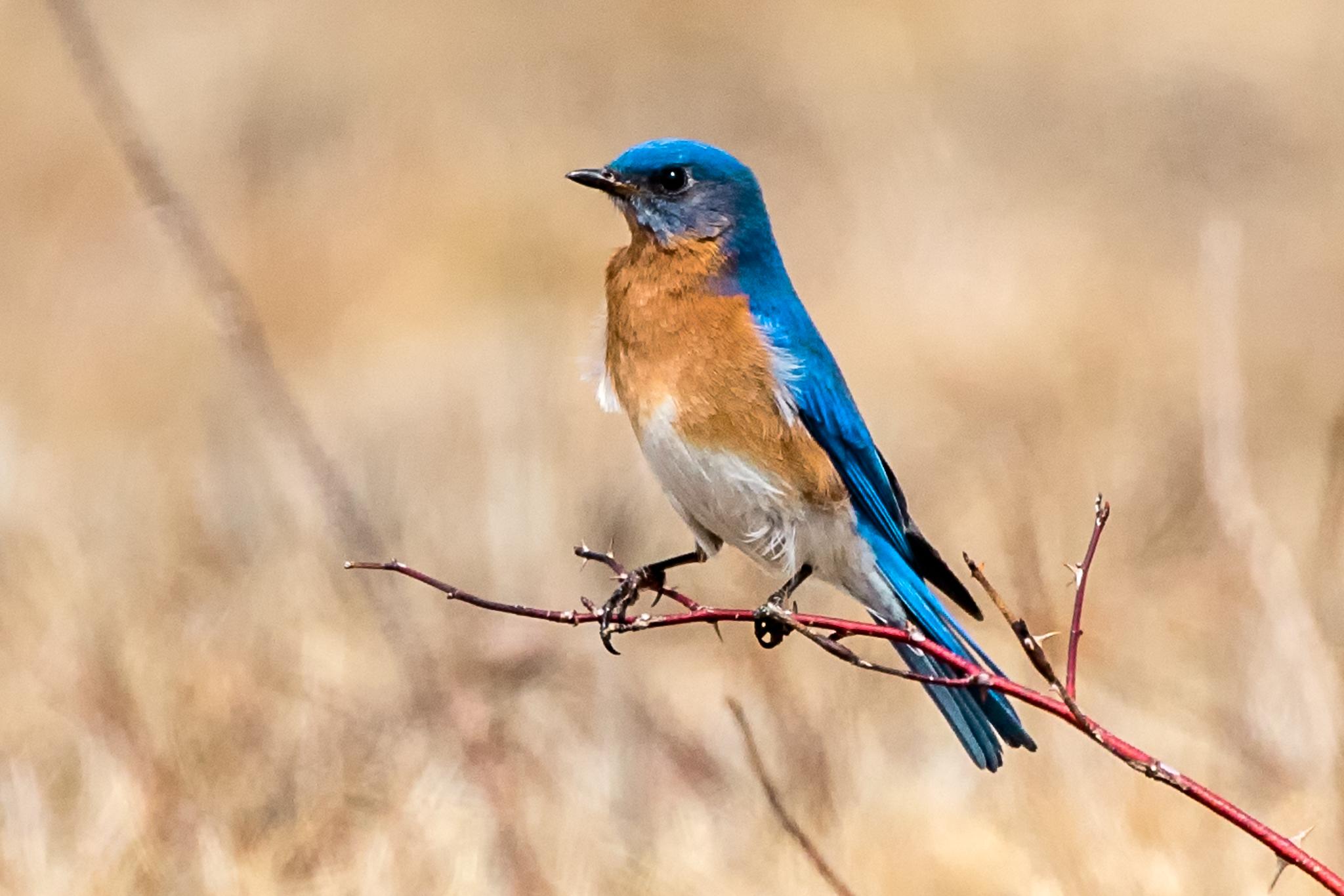 Eastern Bluebird Laudholm Farm 04-13-2017.jpg