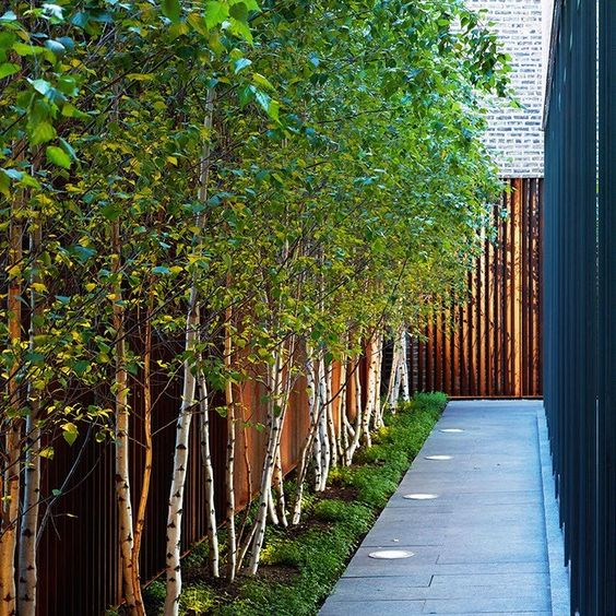 A row of Himalayan Birch trees make an attractive border.