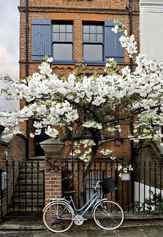 Beautiful Magnolia in full bloom.