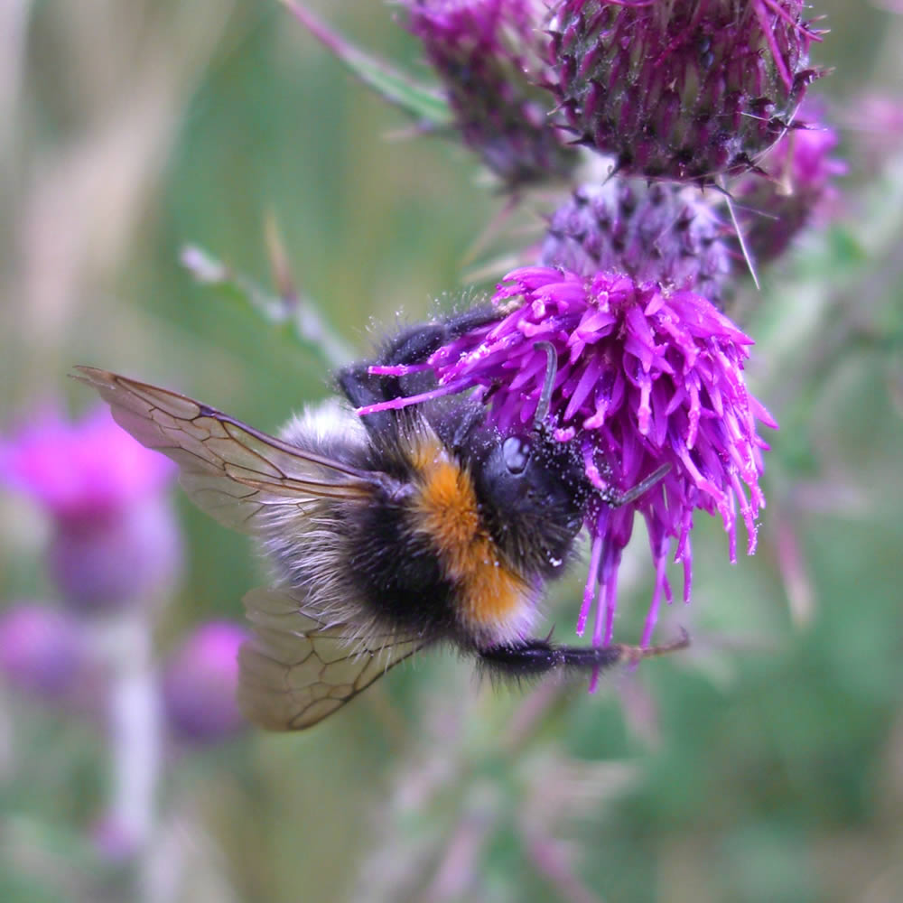 bee-on-thistle.jpg