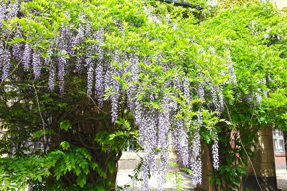 wisteria-plant-1625049.jpg
