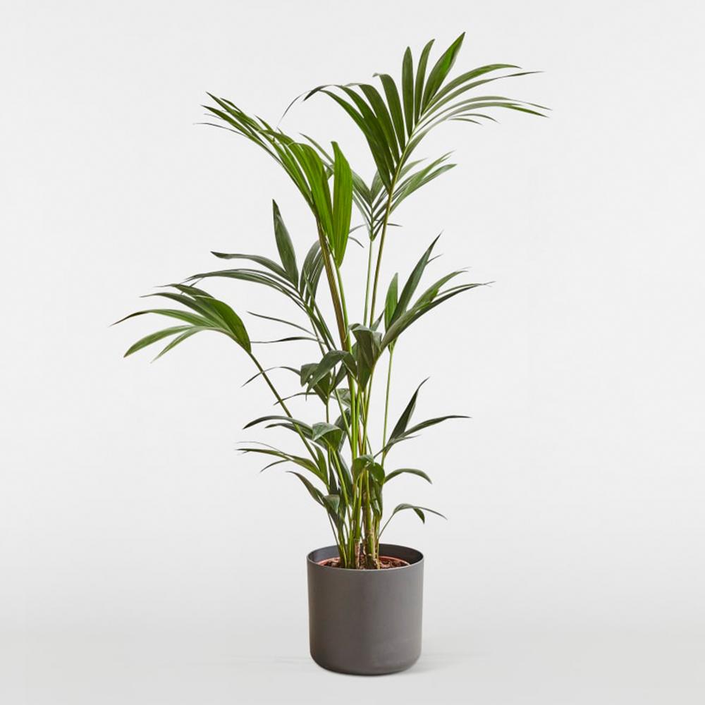 kentia-palm.jpg