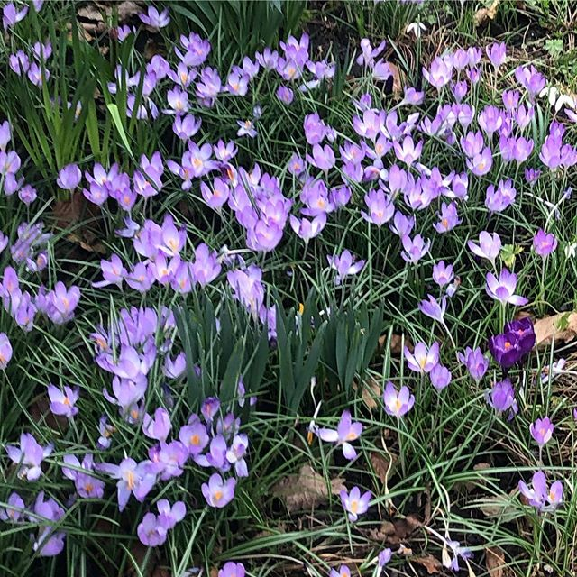 Gorgeous #crocus in a neighbours garden