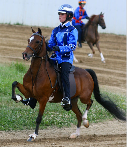 "This very popular and speedy Hackney measures below 13 hands and shows at three seperate trotting speeds: the jog-trot, road gait and then at ""speed."" They are also shown under saddle by Junior Exhibitors wearing racing silks."