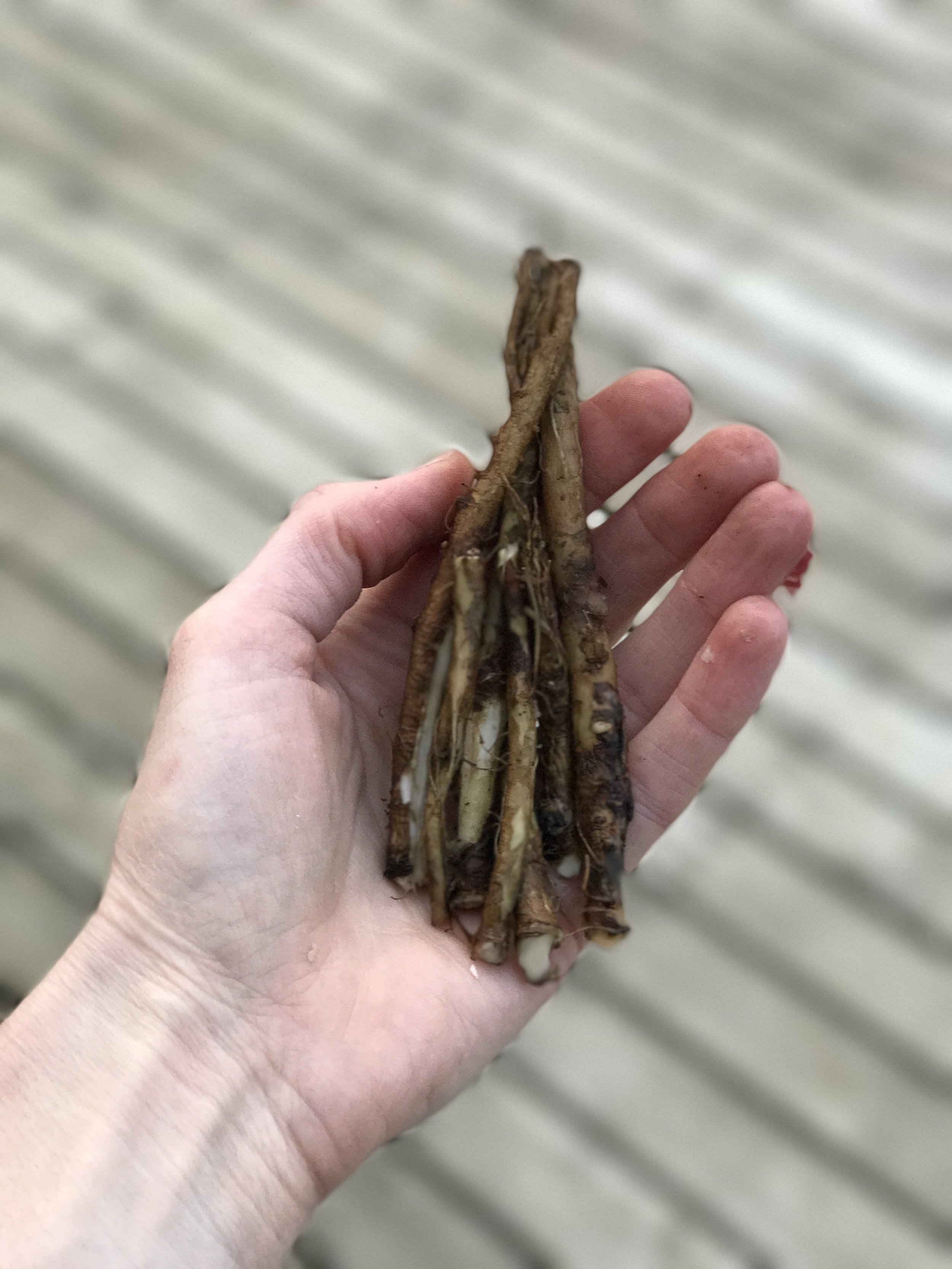 Fresh dandelion root