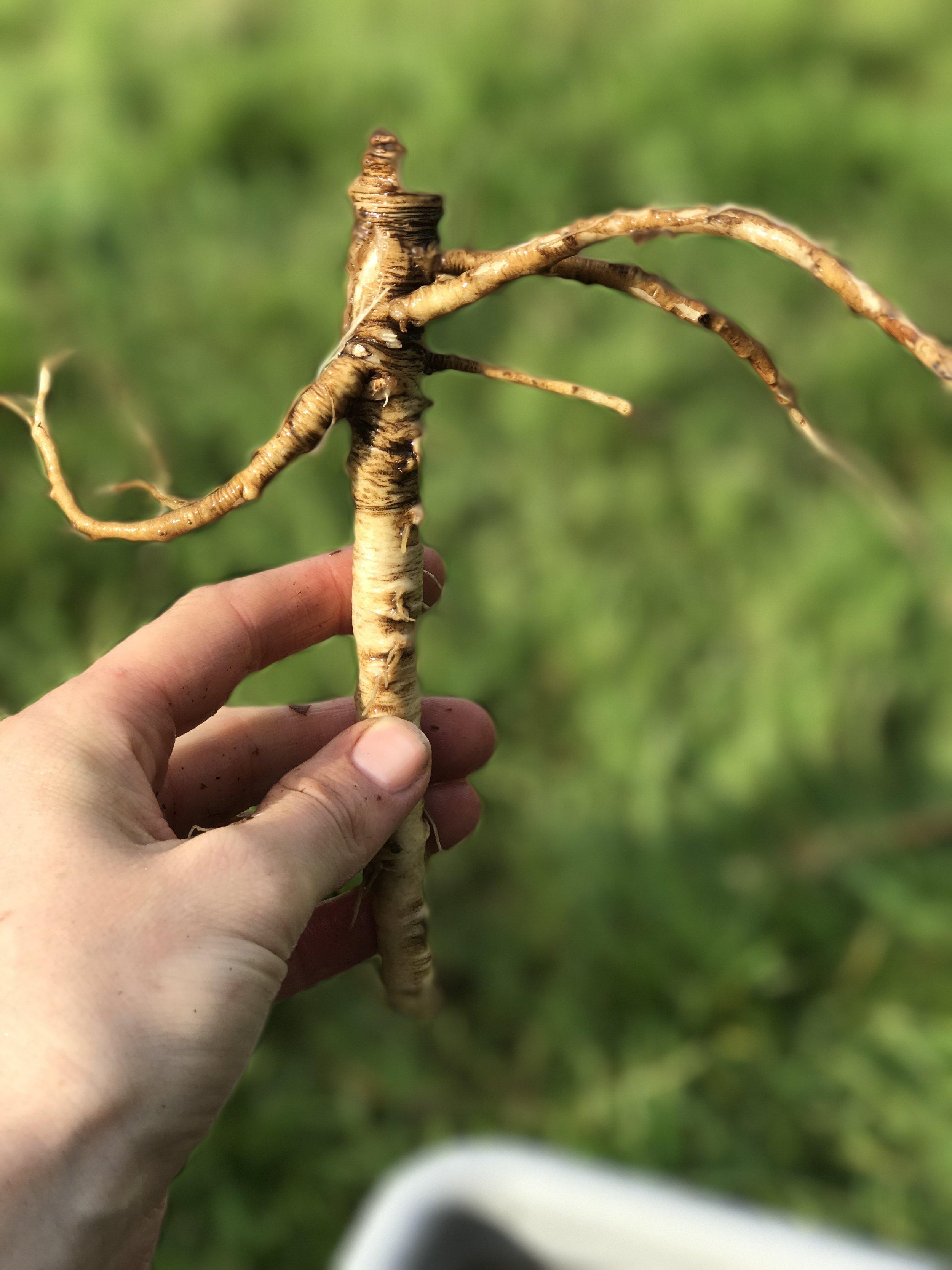 Dandelion Root- Quite Amazing
