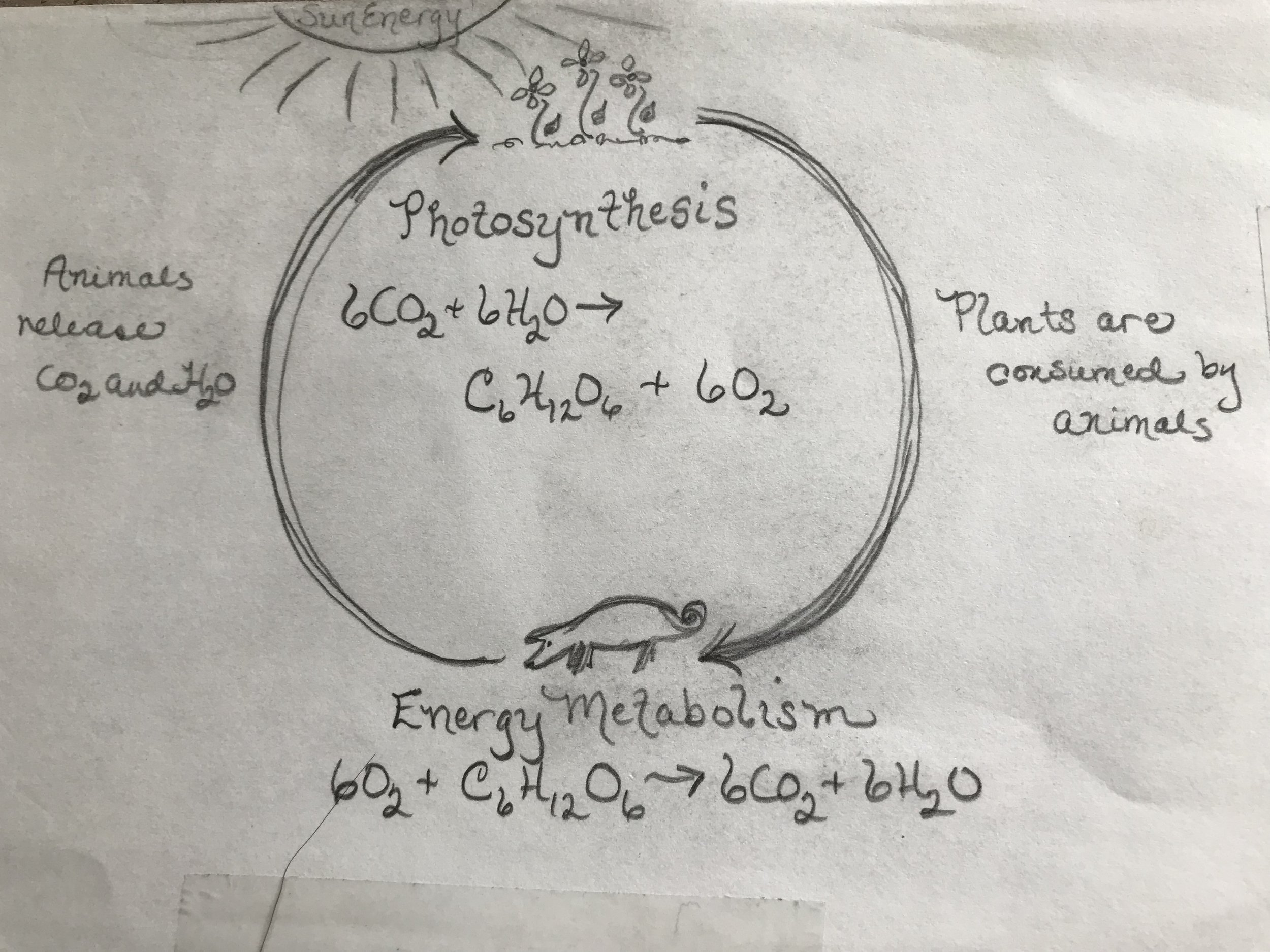 Dr. Hillary's Biochemistry Drawing on the Cycle of Life.