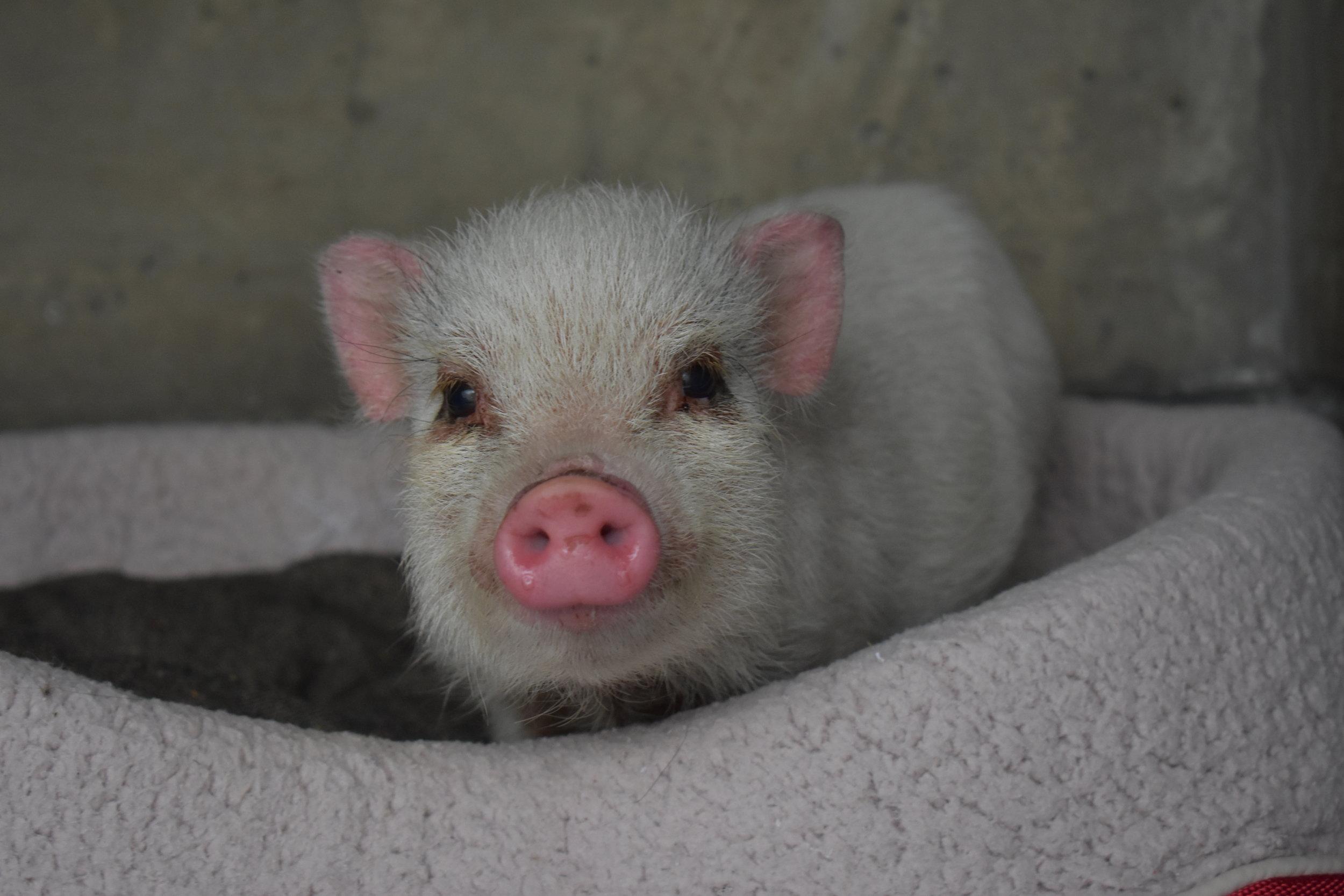 Copy of Pig (A472826) f.JPG