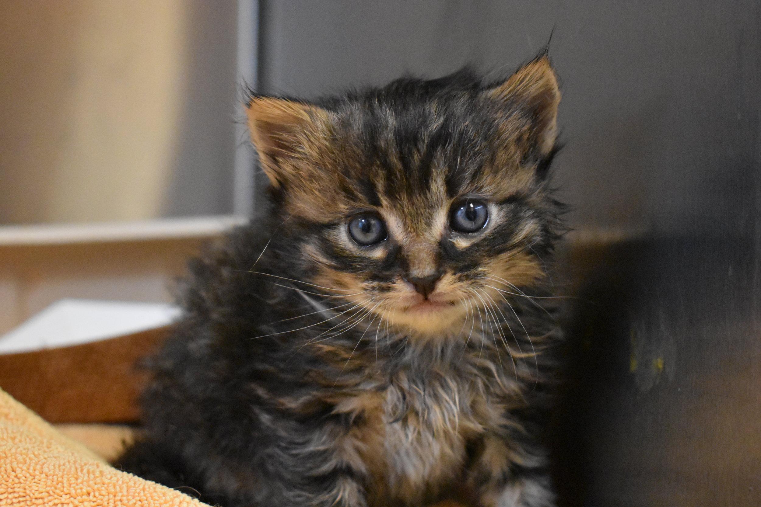 kittens needing fostering k.JPG