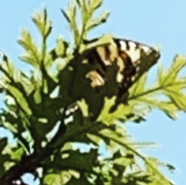 Yellow swallowtail butterfly on a 55 degree day❤️ #miracle #beauty #venus #helios #beauty #messenger