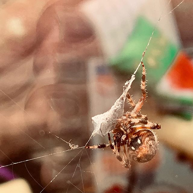Forest spider weaving her breakfast! #scaredme #garden #gardenspider #beautiful #myhair