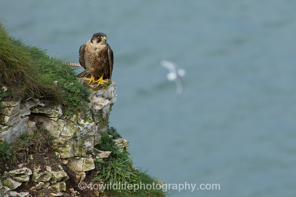 I am confronted by the master of the skies. The fastest bird on the planet, a peregrine sits on a rocky ledge awaiting an opportunity to hunt.