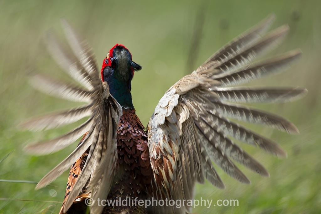 A pheasant screams an alarm call as people walk by