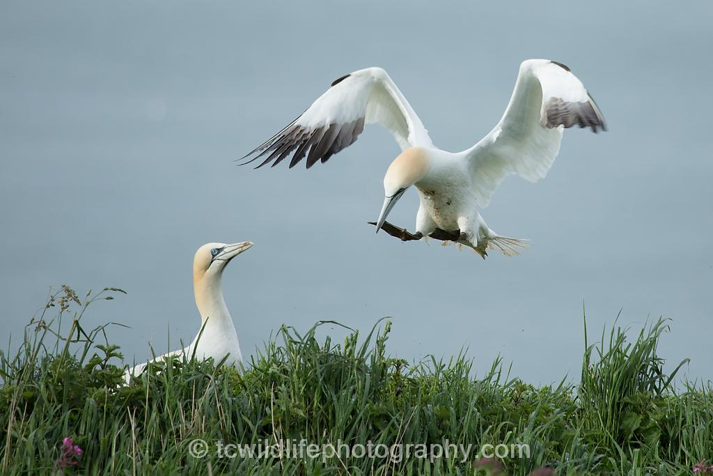 A Gannet couple