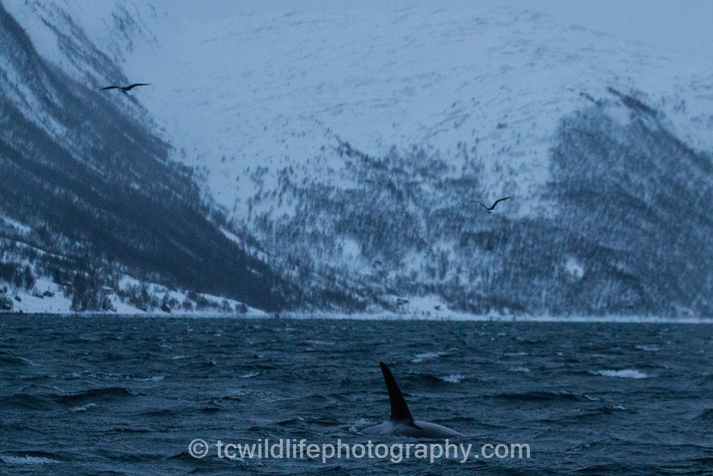 My first sight of a Killer. The captain had hoped that he would lead us to the pod. He in fact, circled the boat several times, watched us, then dived and disappeared without a trace!