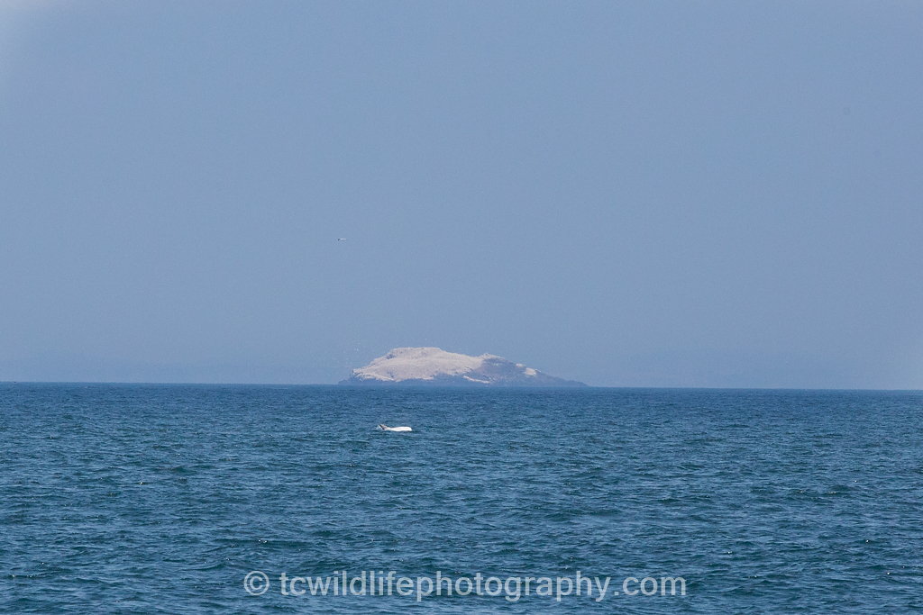 A rare Risso's dolphin surfaces near Grassholm island. The white on the island is a large colony of Gannets.