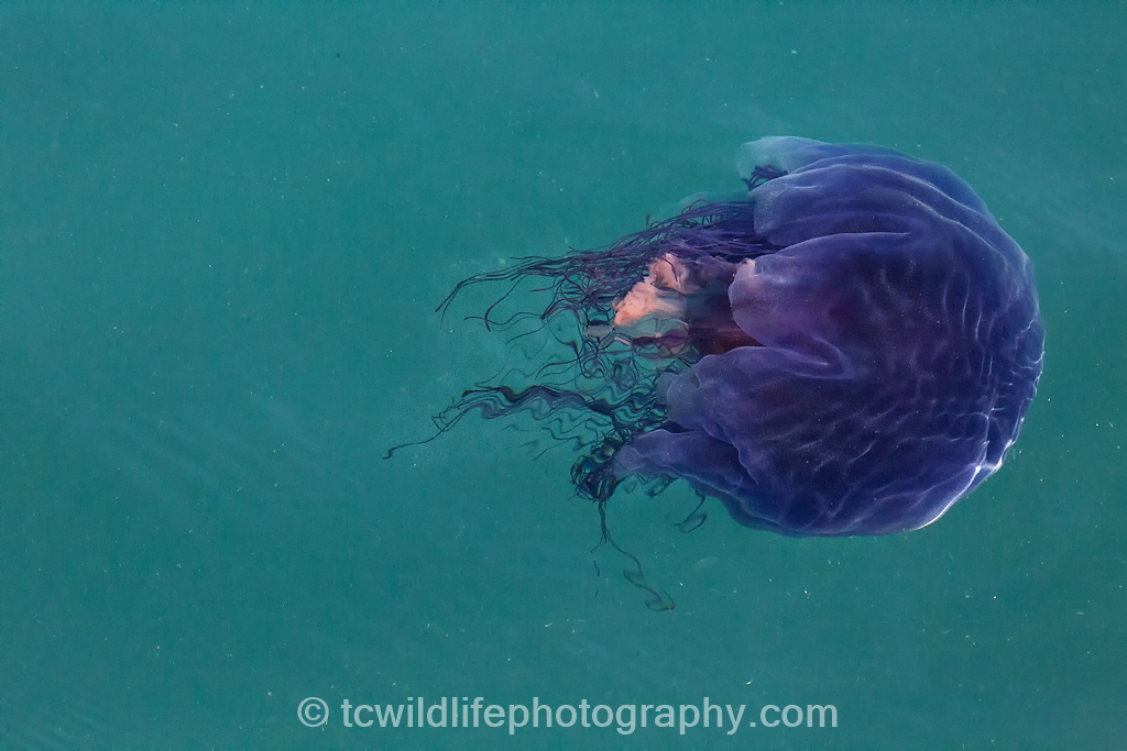In between the dolphin encounters we came across many other marine wildlife, including this jellyfish.