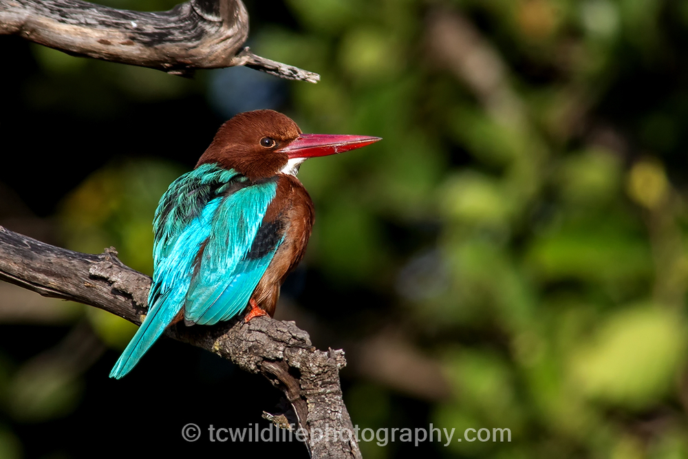 KIngfisher's also bring colour, beauty and song to the forest.