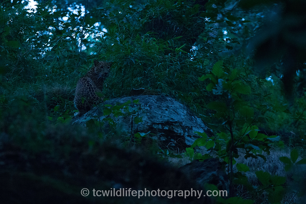 A special moment, my first glimpse of a wild leopard after many years of searching.