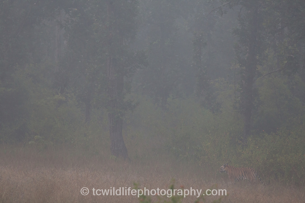 But finally our efforts paid off on a cold foggy morning, we found our first wild tiger. TRuly breathtaking.