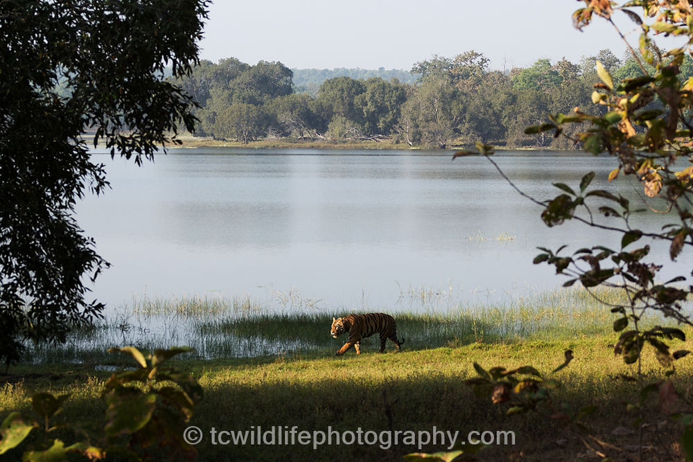 In Tadoba, we came across one of the dominant males by the main lake.