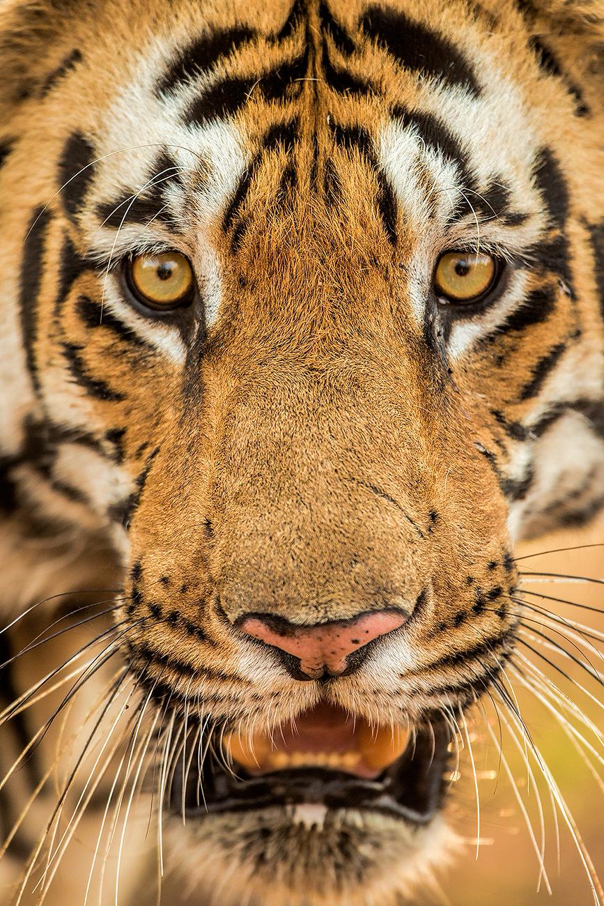 Wild male tiger at Tadoba Tiger Reserve