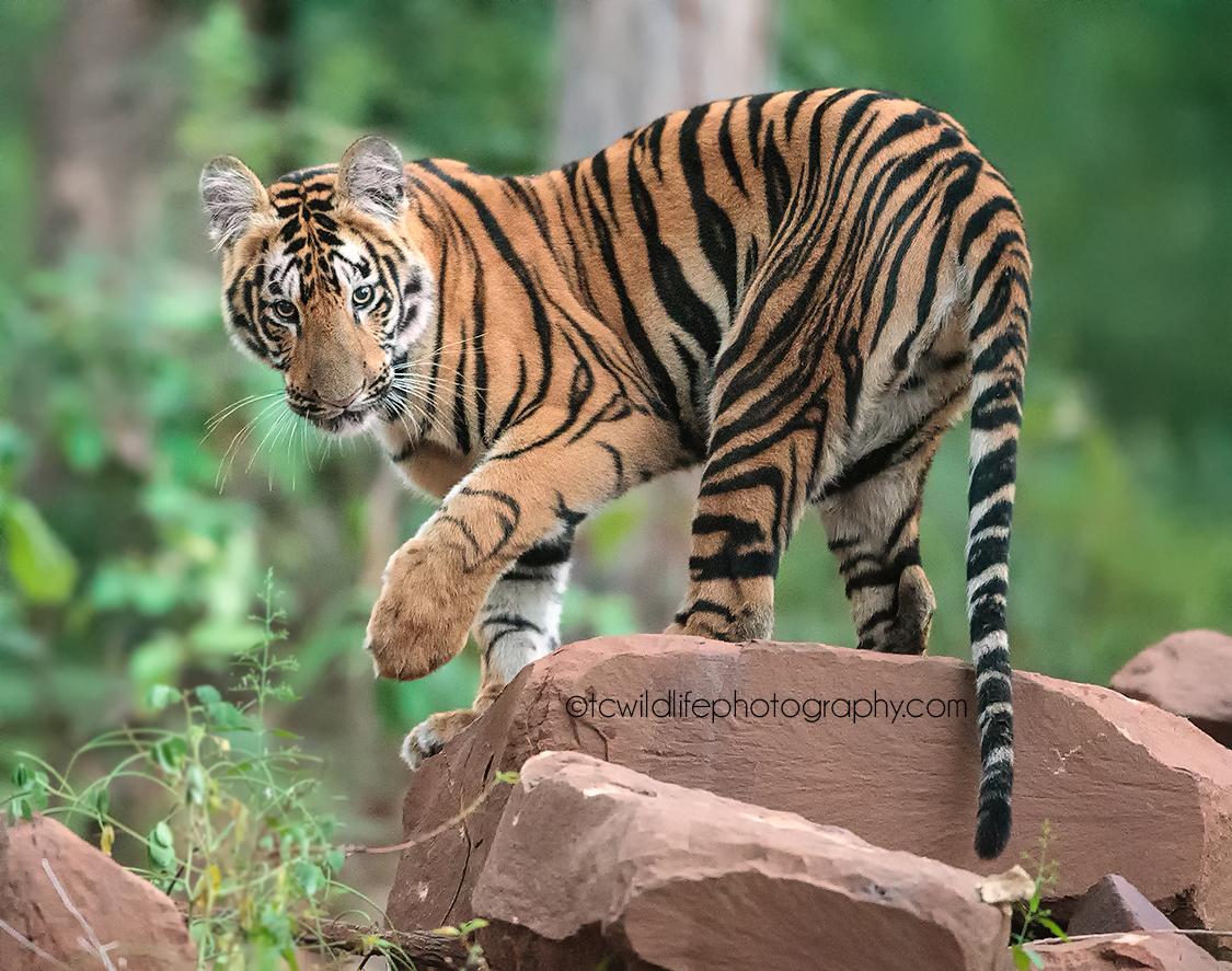 Canon 1dx, 400mm f2.8, 1/125/sec iso 12800, tadoba tiger reserve, India