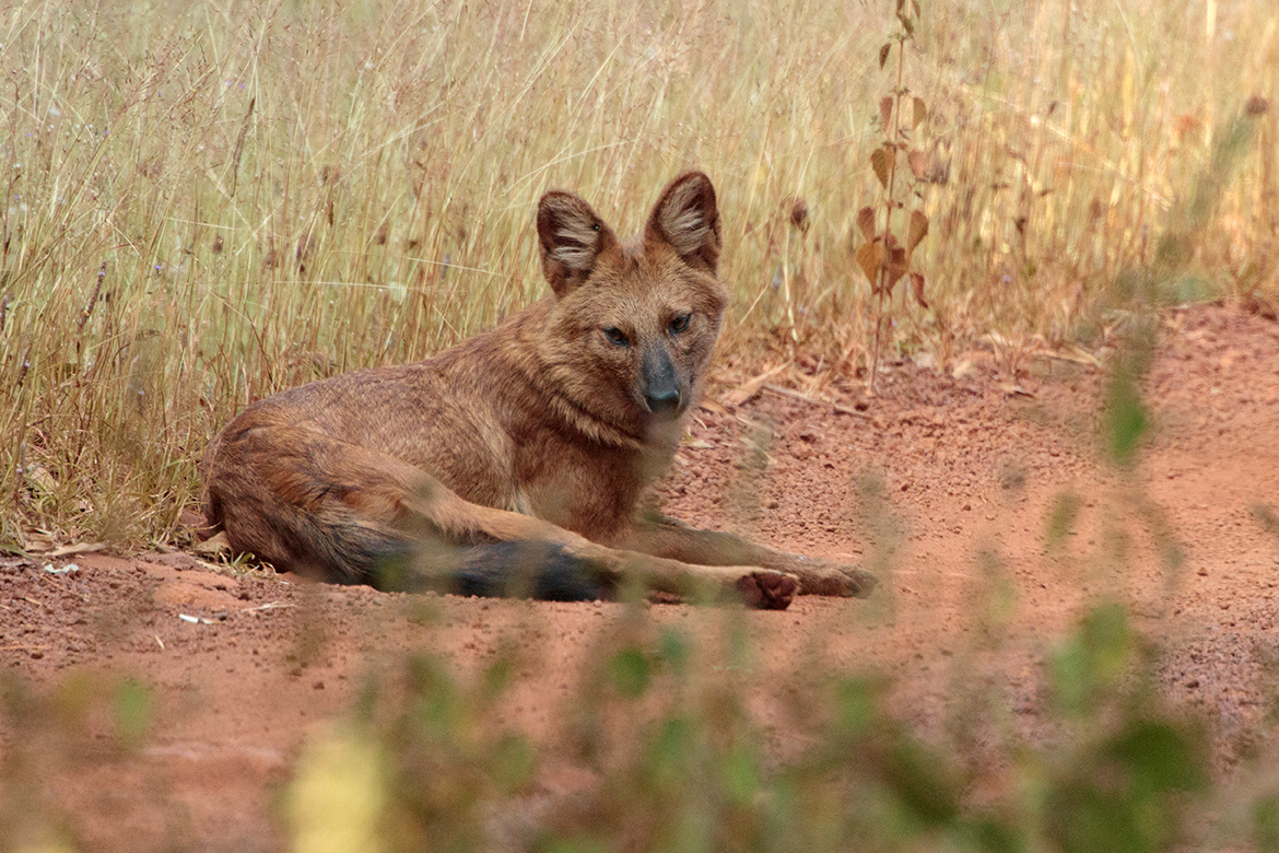 The indian wild dog, or dhole. Canon 77d, 800mm f5.6.